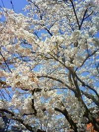 Sakura09_1