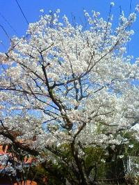 Sakura09_6