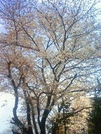 Sakura09_7