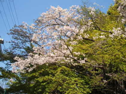 Sakura09_8