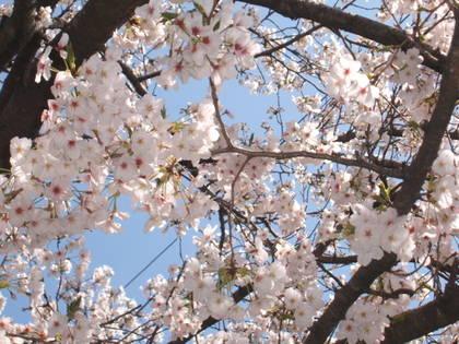 Sakura09_9