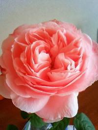 Rose2_30jan