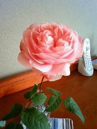 Rose_30jan