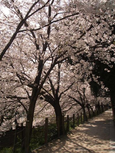 Sakura09_4