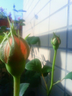 Rose090419