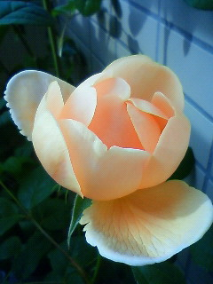 Rose090424