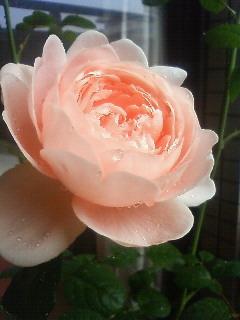 Rose090425