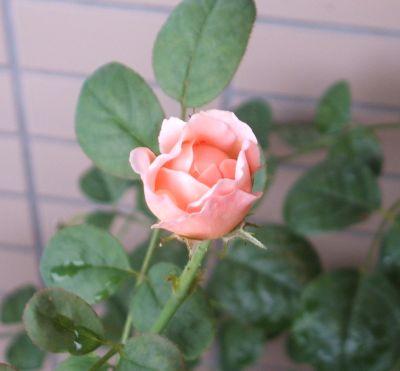 Rose090711