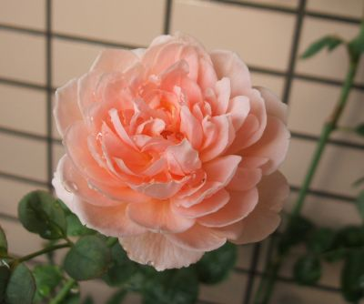Rose090713