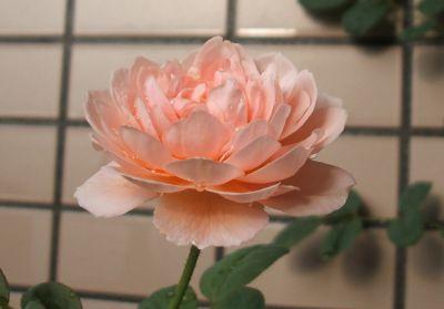 Rose090713_2