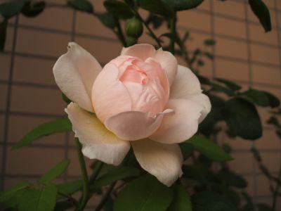 Rose1027