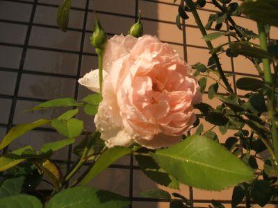 Rose1028