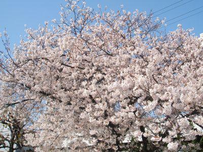 2010sakura3