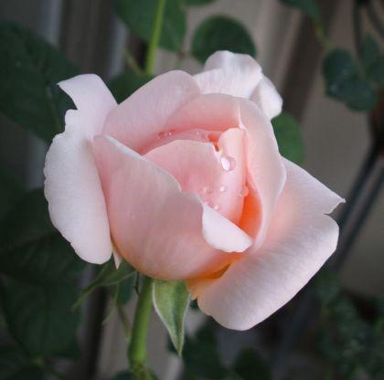 Rose100508q
