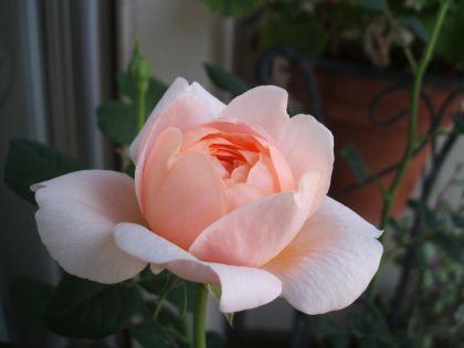 Rose100508q2