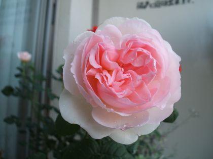 Rose100508s