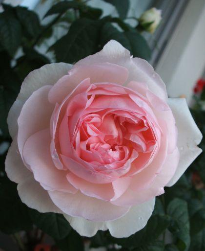 Rose100508s2
