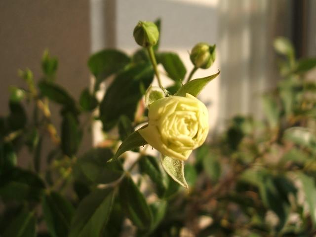 rose1219