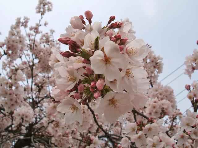 SAKURA☆2011