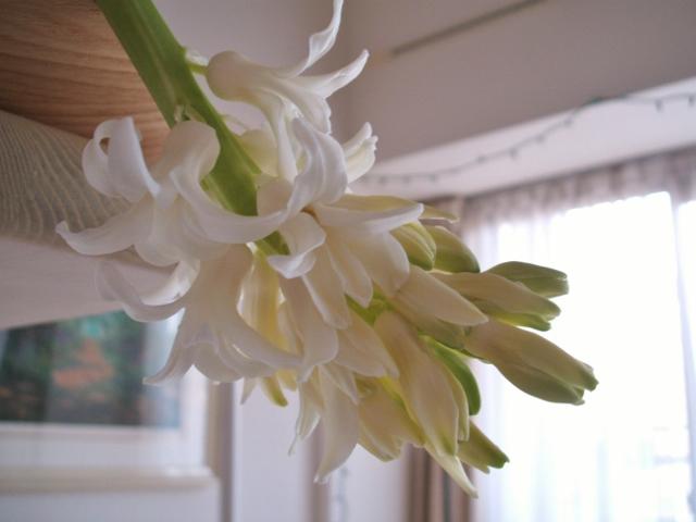 2012☆ヒヤシンス