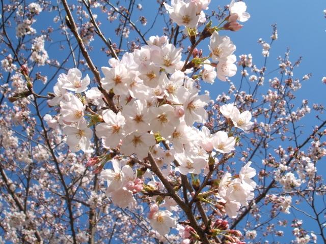 桜 Yoga