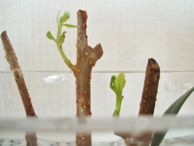 オリーブ挿し木