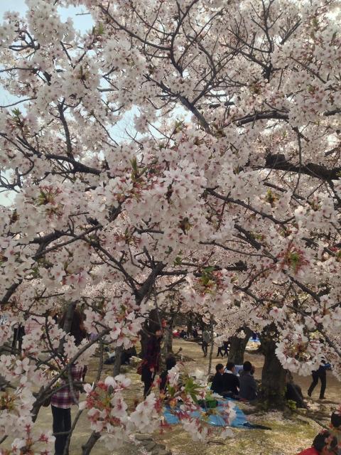 SAKURA☆舞鶴公園